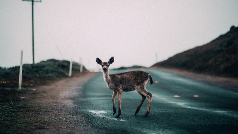 Deer standing in road